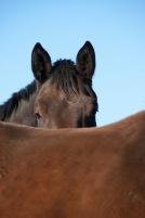 Kommer sakna de här gose-öronen och den vänliga blicken... mysigaste hästen i stallet!
